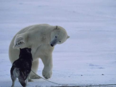 ijsbeer2